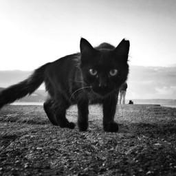 cat blackandwhite blackcat street iphone mobile straycat heypicsart picsartpets picsart