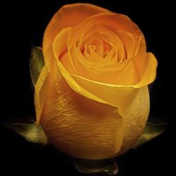 rose yellow favoriteflower flower