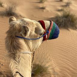 freetoedit desert camel friend