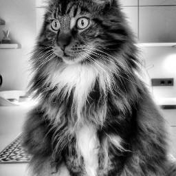 cat mainecoon maincooncat catlover pet freetoedit
