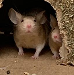 freetoedit mouse maus caramell nüsschen cute house