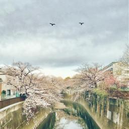 freetoedit sakura cherryblossoms sky