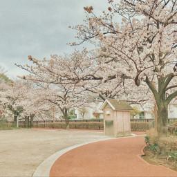 freetoedit sakura cherryblossoms japan