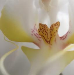 flowershoutout photography nature orquid flower freetoedit