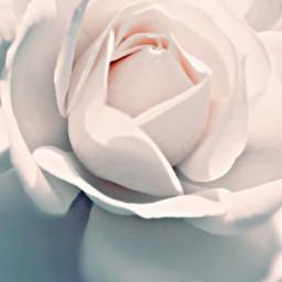 rose roses white whiteaesthetic whiteroses background backgrounds wallpaper wallpapers flower flowers rosewallpaper rosebackground freetoedit