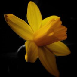 daffodil spring yellow flower happyflower