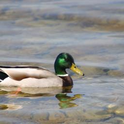 freetoedit duck nature water naturephotography canonpowershotg5x goodnight
