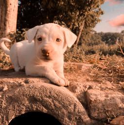 freetoedit puppy dog puppylove pinkish cute adorable iphonephotography