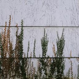 freetoedit pcwalls walls ivy nature