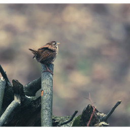wren zaunkönig bird naturephotography wildlifephotography freetoedit