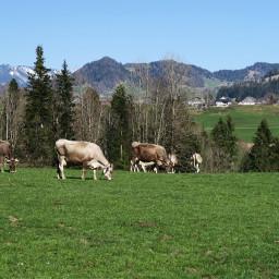 freetoedit cow cows animals animal mountains austria alps mountain landscape mountainview tree trees village farm vorarlberg naturephotography