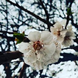blossom spring springmood freetoedit
