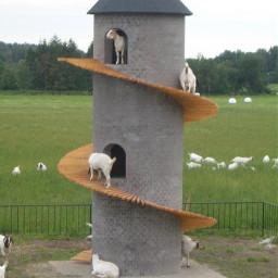 goats pog