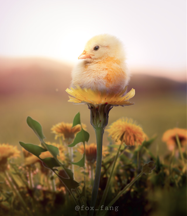 My submission to a contest of @retract_visuals   #retract_contest   #dandelion #field #spring #nature #chick #bird #flower