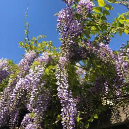 freetoedit wisteria wisteriaflowers
