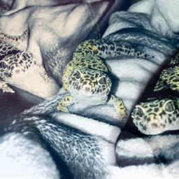 freetoedit lizard