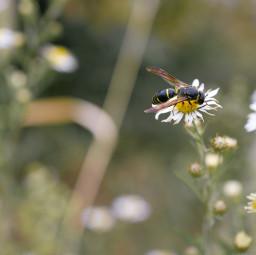 freetoedit spring flower wasp avispa flor blume bahaarha nature natura green blooming