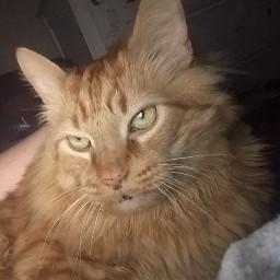skittles mycat mycats cat cats orangecat mainecooncat mainecoon kitty kitten