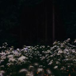 flower flowerfield white dark forest enjpy orchard evergreen evergreens freetoedit
