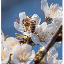 bee savethebees cherryblossoms nature naturfotografie naturephotography closeup springtime freetoedit