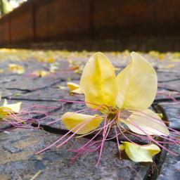 crateva photography flower kerala neermaathalam fav writer punnayurkulam nature madhavikutti aami