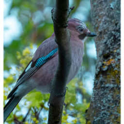 bird jay raven nature birdlovers naturephotography naturfotografie freetoedit