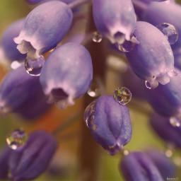 freetoedit bell bluebell waterdrops pcmothernature mothernature