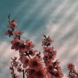 spring blossom peachtree freetoedit