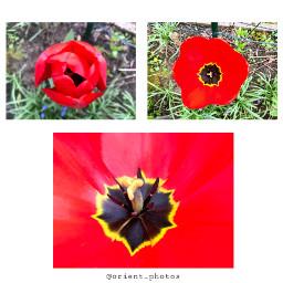 tulip flower flowershoutout garden simple nature orient_photos