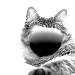 black white gray blackandwhite and wite monotone cat citten kitten citen kiten stripe stripes