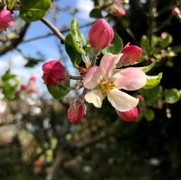 blossom appleblossom tree appletree simple garden photography orient_photos
