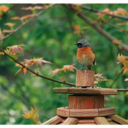 bird redstart commonredstart birdlovers birdwatching naturephotography naturfotografie freetoedit