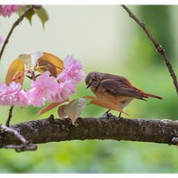redstart bird birdlover gartenrotschwanz naturephotography citybirds freetoedit