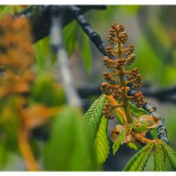 spring chestnut blossom nature beautyinnature beautyinlittlethings natureshot freetoedit