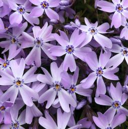 freetoedit blueflower phloxflower phlox