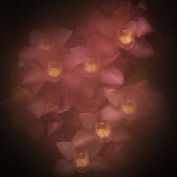 orchid orchidea pink yellow foggy fog dark flower orangery photo photography canon canon700d photoshop photoshopcs5 freetoedit