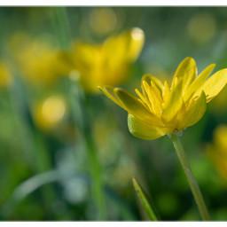 freetoedit flowers blooming bokeh yellow naturethroughmyeyes spring naturephotography beautyinnature