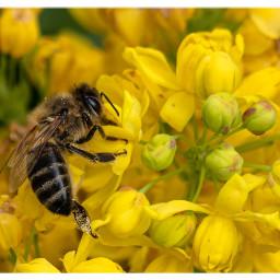 honeybee bee savethebees nature insect freetoedit
