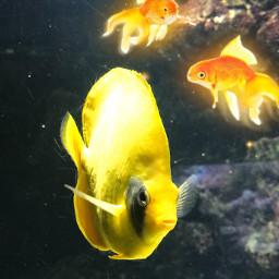 fish peces amarillo srcgoldenfish goldenfish freetoedit