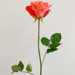 rose leaves plant flower nature simple freetoedit freeforbusiness