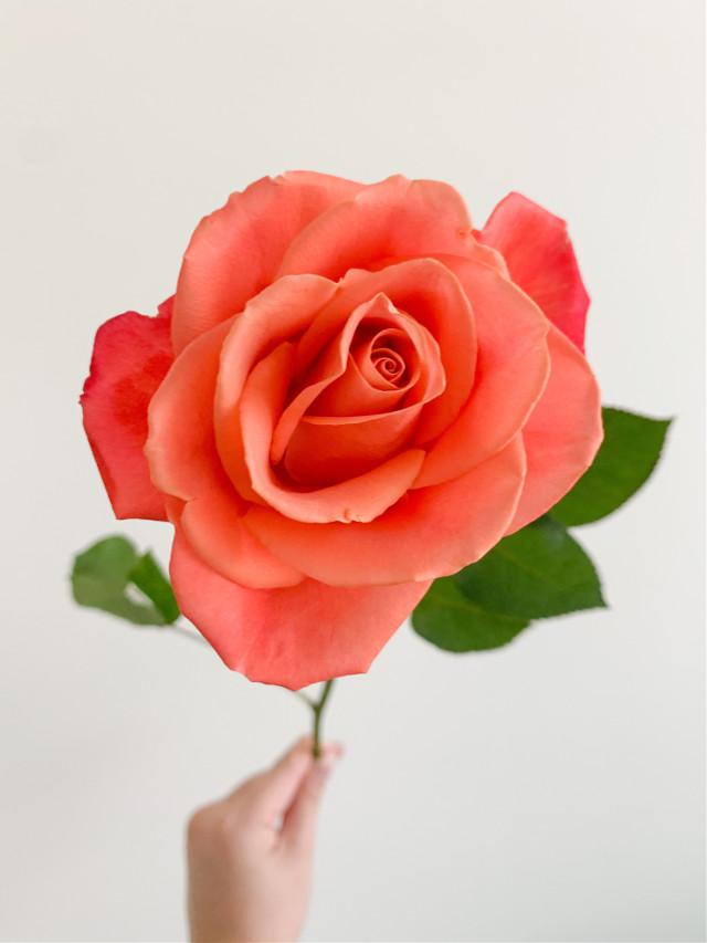 #rose #leaves #stem #flower #hand #nature