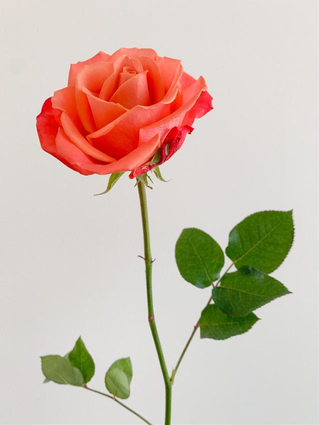 #rose #leaves #stem #flower #nature #petals