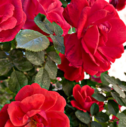 freetoedit roses