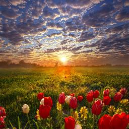freetoedit remixit nature peace follow tulips spring flowers garden fanart followme love art beauty