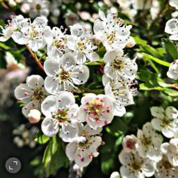flowerphotography flowers flores sauco primavera freetoedit