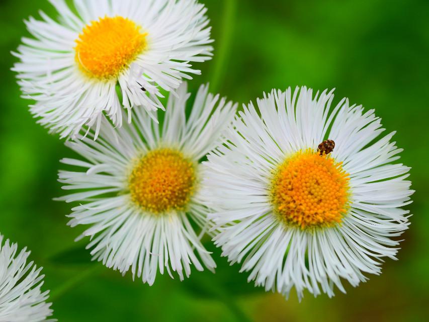 #closeup#flowers#macro#macrophotography#wild#wildnature#ladybug#phool#fiore#flores#blume#white#whiteflower