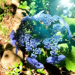 freetoedit sfghandmade photography flowers flowerphotography hydrangea bluehydrangea backgrounds garden gardening picsarteffects