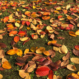 autumn leaves nature fall colorful pccolorsisee colorsisee