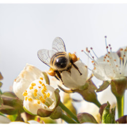 bee honeybee beebutt nature insect insectphotography naturephotography savethebees freetoedit