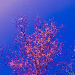sakura mahogany swietenimacropylla fall